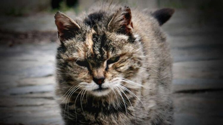"""FeralCat featured 750x422 - Feral Cats Raid """"Body Farms"""" to Eat Human Corpses"""