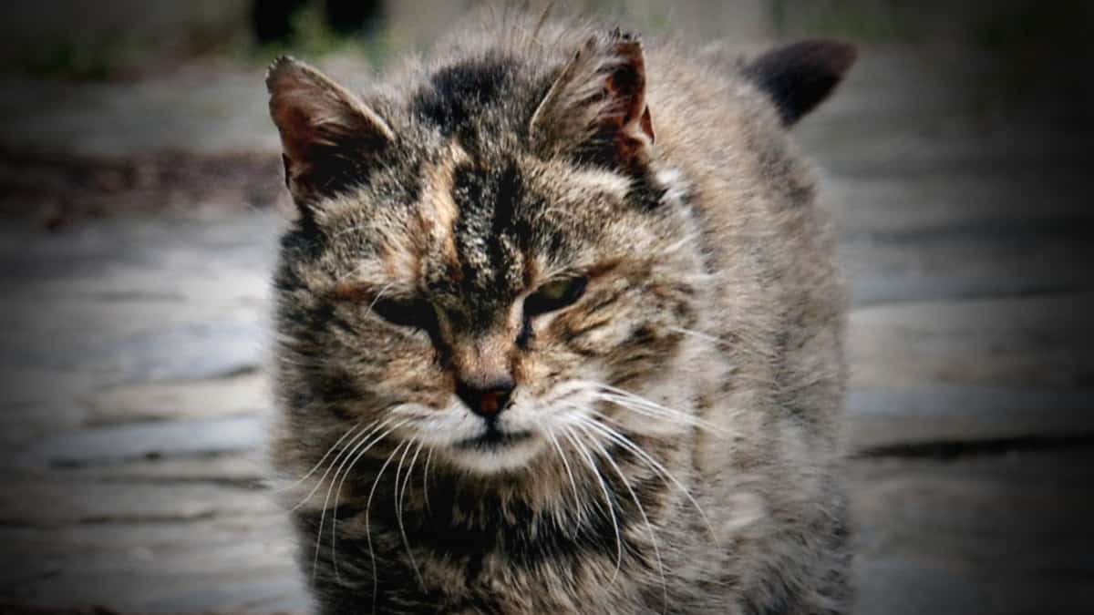 "FeralCat featured - Feral Cats Raid ""Body Farms"" to Eat Human Corpses"