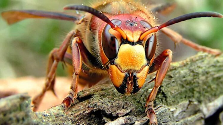 """Murder Hornet Banner 750x422 - More """"Murder Hornets"""" Discovered in Washington State as """"Slaughter Phase"""" Approaches"""