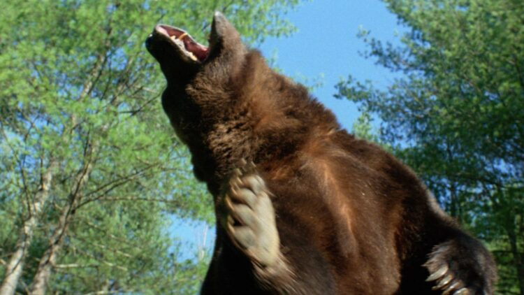 grizzly feat 750x422 - GRIZZLY Blu-ray Review - Just When You Thought It Was Safe To Go Camping