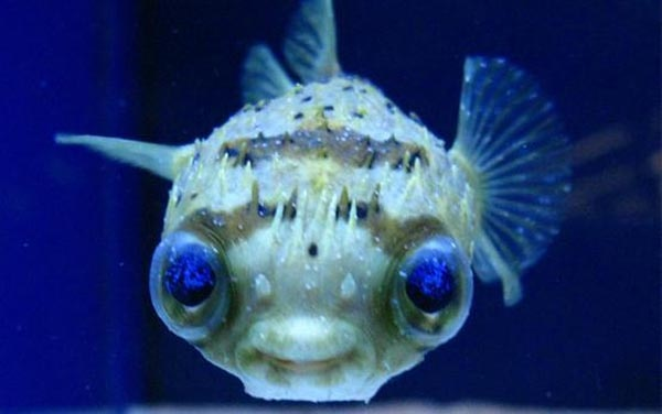 Want to Avoid Zombification? Mission Blue Says Avoid the Puffer Fish